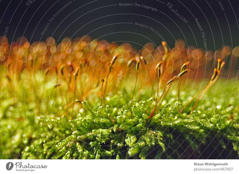 Fußschmeichler Umwelt Natur Pflanze Herbst Moos Wald schön braun gelb gold grün Sporenkapsel Schlafmoos Bohek Farbfoto Außenaufnahme Nahaufnahme Detailaufnahme