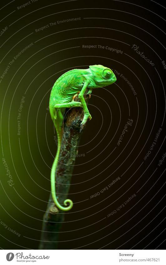 Sentinel Natur Tier Chamäleon 1 Tierjunges festhalten sitzen klein nah oben grün Tapferkeit Wachsamkeit Gelassenheit geduldig ruhig Zufriedenheit Kontrolle