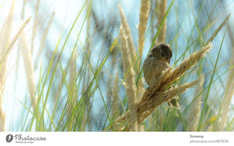 Futtersuche Natur Tier Sommer Gras Sträucher Küste Nordsee Insel Langeoog Stranddüne Wildtier Vogel Spatz 1 Gelassenheit ruhig Appetit & Hunger Zufriedenheit