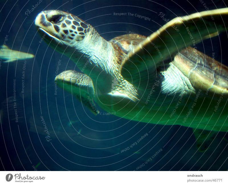 Schwimmkröte Schildkröte Meer tauchen Tier gleiten Umweltschutz Biologie turtle ocean swimming Wasser Natur sea gepanzert Schwimmen & Baden