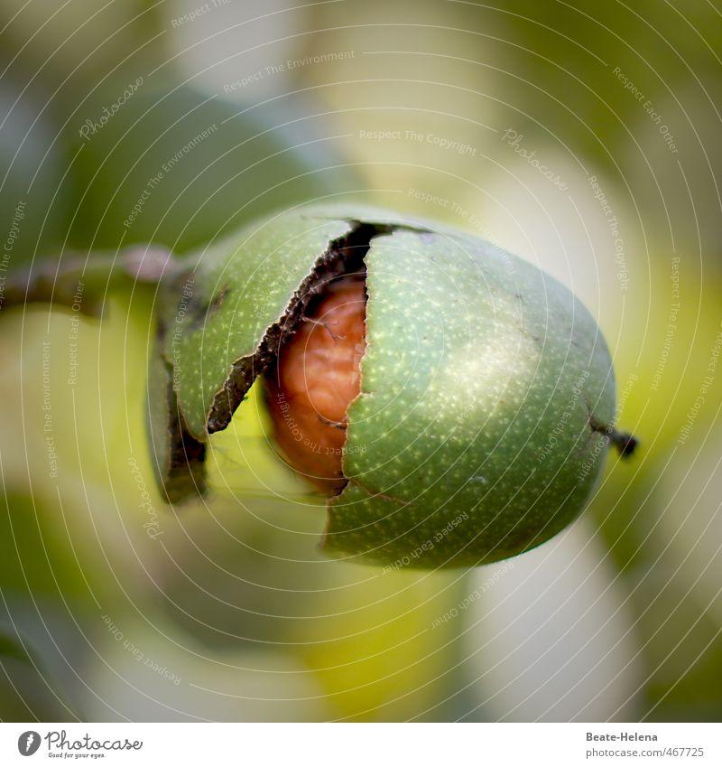 ... nur noch einmal knacken ... Natur grün Pflanze gelb Herbst Essen Gesundheit braun Lebensmittel Frucht frisch Ernährung genießen Fitness Schutz Bioprodukte