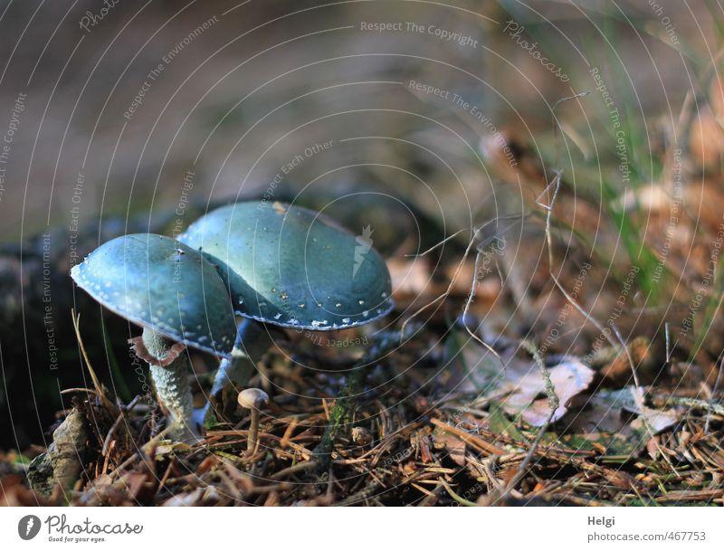 Grünspan-Träuschling Umwelt Natur Herbst Pilz Wald Waldboden stehen Wachstum außergewöhnlich dunkel klein natürlich blau braun türkis standhaft ästhetisch