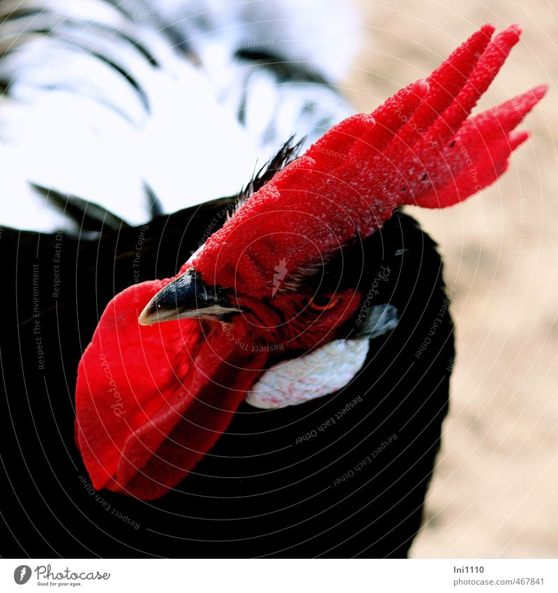 Hahn Natur blau schön Sommer weiß rot Tier schwarz natürlich grau außergewöhnlich Park elegant Kraft ästhetisch fantastisch
