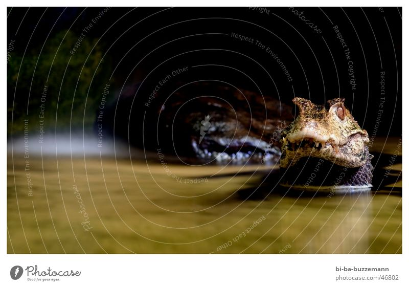 Krokodil Tier Zoo Schnauze Reflexion & Spiegelung Scheune Maul Wasser Auge Gebiss kroko Schatten