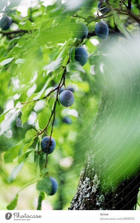 du Pflaume Lebensmittel Frucht Ernährung Bioprodukte Umwelt Natur Pflanze Sommer Schönes Wetter Baum Blatt Nutzpflanze Garten Wachstum ästhetisch Gesundheit