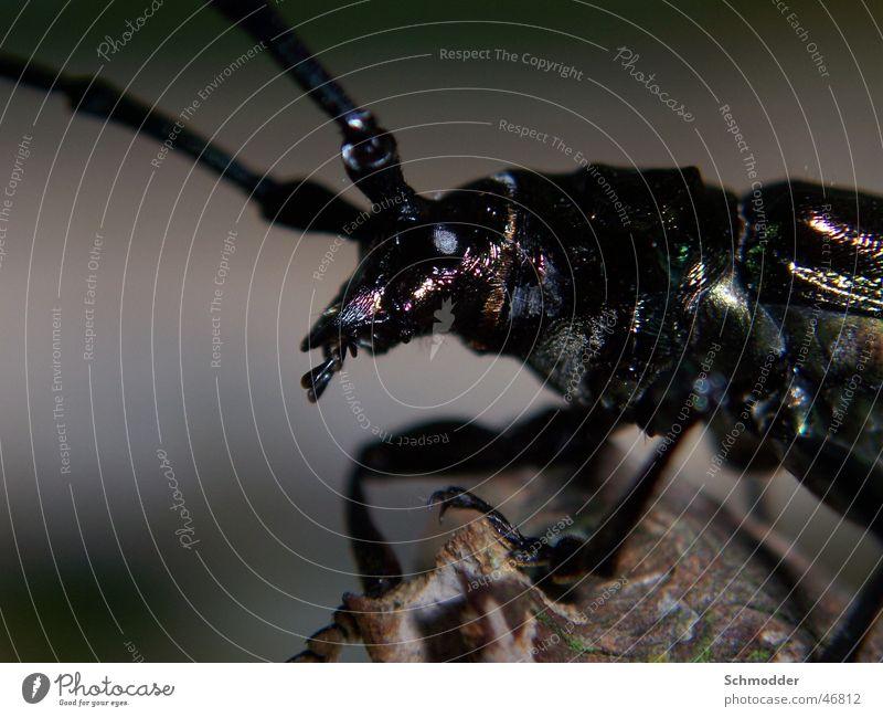 Krabbelfiech schwarz Insekt Ast Käfer Fühler