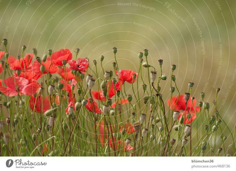 Der Sommer vergeht... Natur schön grün Pflanze rot Blume Bewegung Herbst Gras Blüte natürlich Feld leuchten Blühend viele Romantik