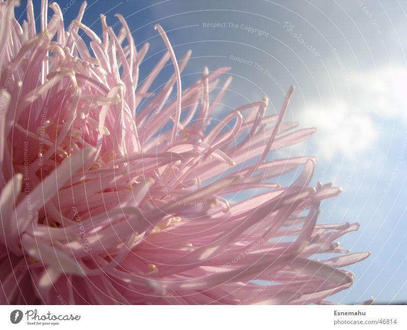 Pink Flower Blume rosa dunkel Wolken weiß Licht Haus nah schwarz grau Fühler quer durcheinander verdeckt unten Makroaufnahme hell Kontrast blau Himmel Schatten