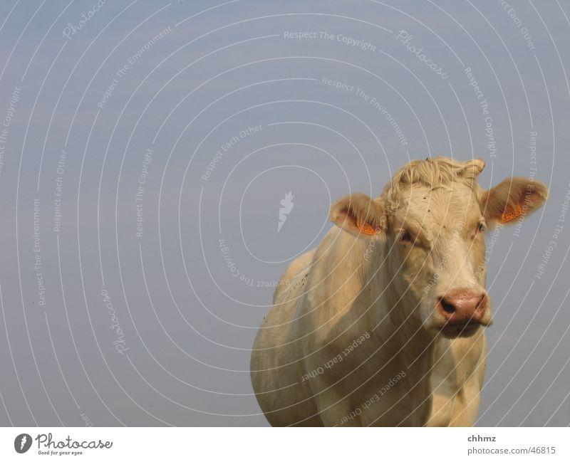 Hilde Kuh Rind weiß Wiederkäuer Neugier Himmel blau Horn Freisteller Vor hellem Hintergrund Blick in die Kamera Vorderansicht Blick nach vorn Textfreiraum oben