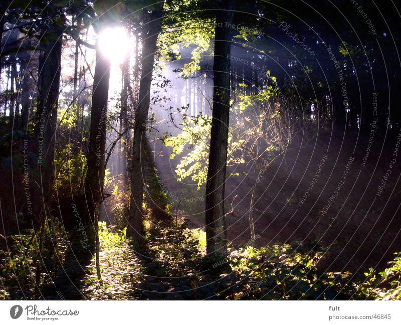 licht im wald Natur Baum Sonne grün Blatt Wald Holz Lichtstrahl Abendsonne Holzmehl Laubwald