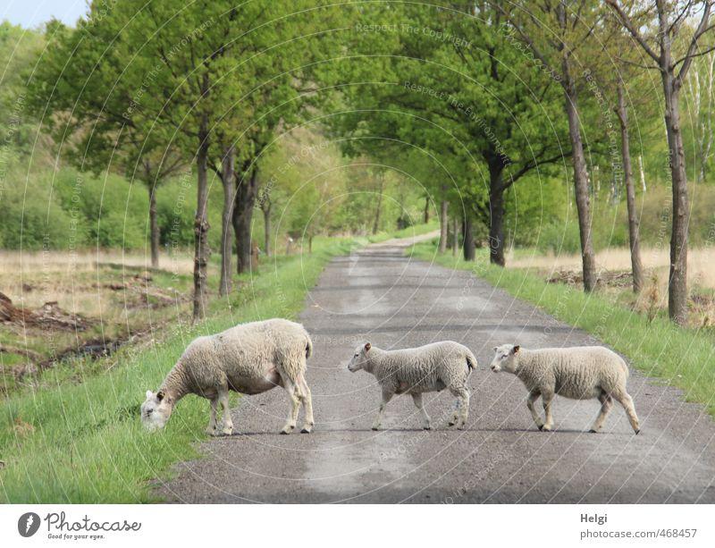 Seitenwechsel... Umwelt Natur Landschaft Pflanze Tier Frühling Schönes Wetter Baum Gras Moor Sumpf Straße Nutztier Schaf Lamm 3 Tierjunges Tierfamilie Bewegung