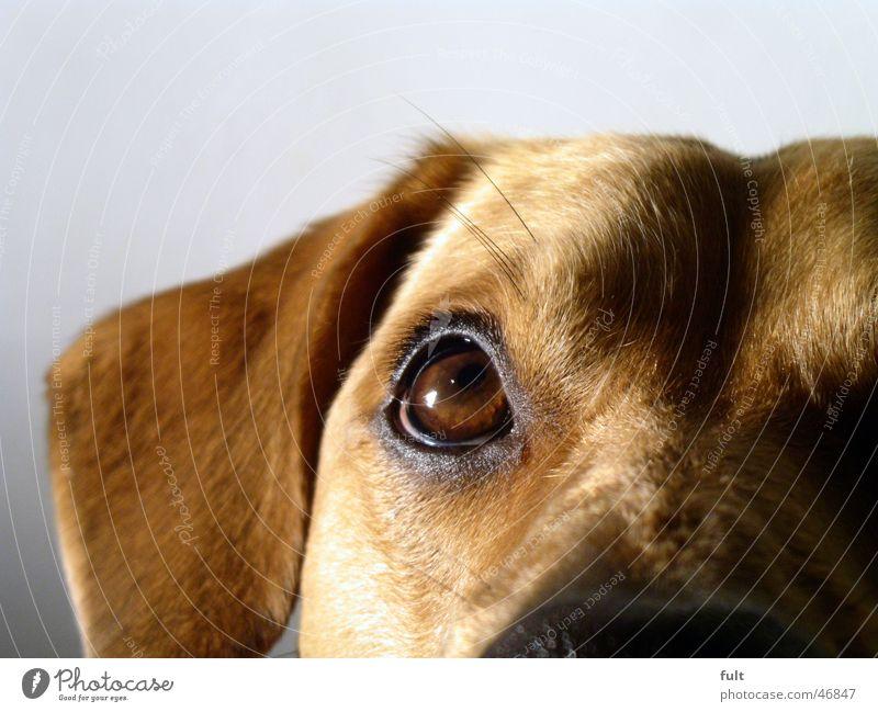hund Hund Fell braun Tier Haustier Makroaufnahme Blick Auge Ohr Haare & Frisuren dog Stil eye ear skin brown hairs animal domestic animal