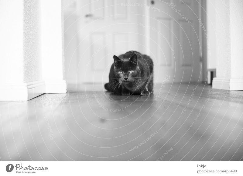Fleckentferner Katze Tier Wohnung Raum Häusliches Leben beobachten Neugier Tiergesicht Konzentration entdecken Jagd Haustier Wohnzimmer Flur Interesse Holzfußboden