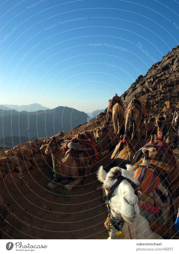 Karawane Karavane Kamel Dromedar Paarhufer Kamelhöcker Trampeltier Wiederkäuer Zaumzeug laufen Berghang Ägypten Wolken Panorama (Aussicht)