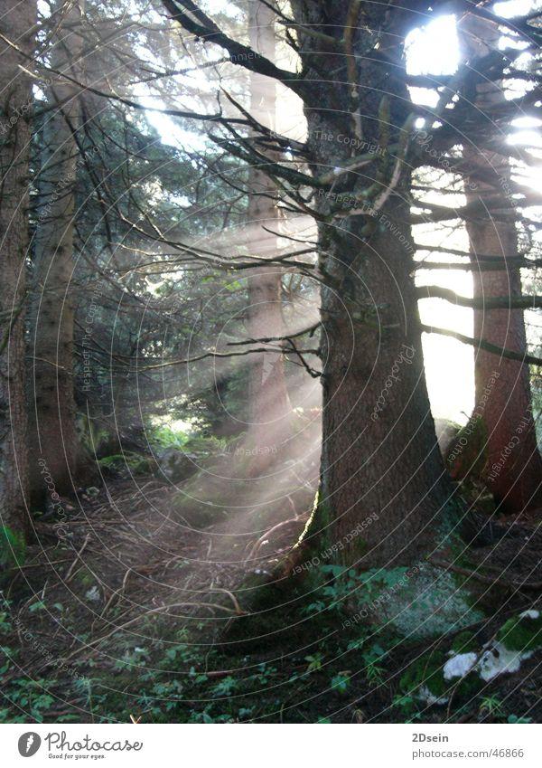 irdisches Licht Natur Baum Wald mystisch
