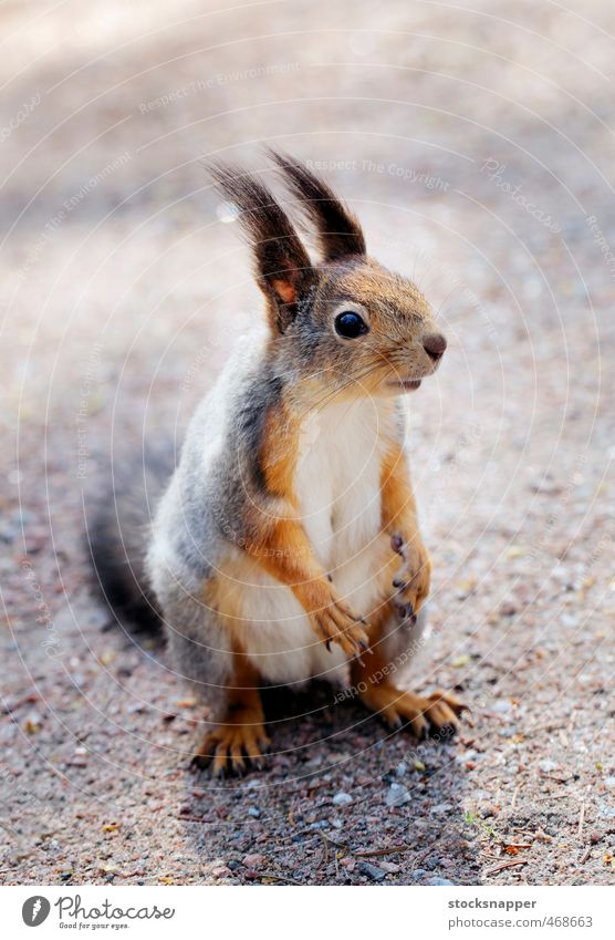 Tier niedlich Säugetier Eichhörnchen Nagetiere Finnland Finnisch