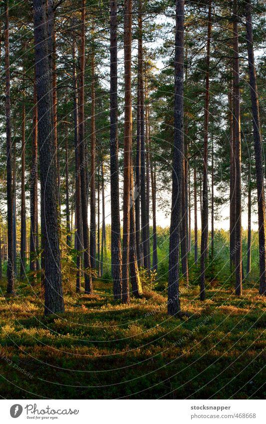 Kiefernwald nordisch Wald Abend Licht Lichterscheinung Baum Natur natürlich Sonnenlicht Menschenleer Finnland Finnisch Skandinavien Landschaft