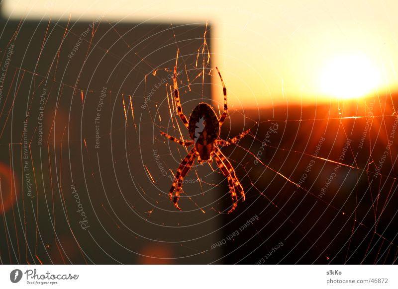 Spinne im Gegenlicht Sonne Netz Nähgarn