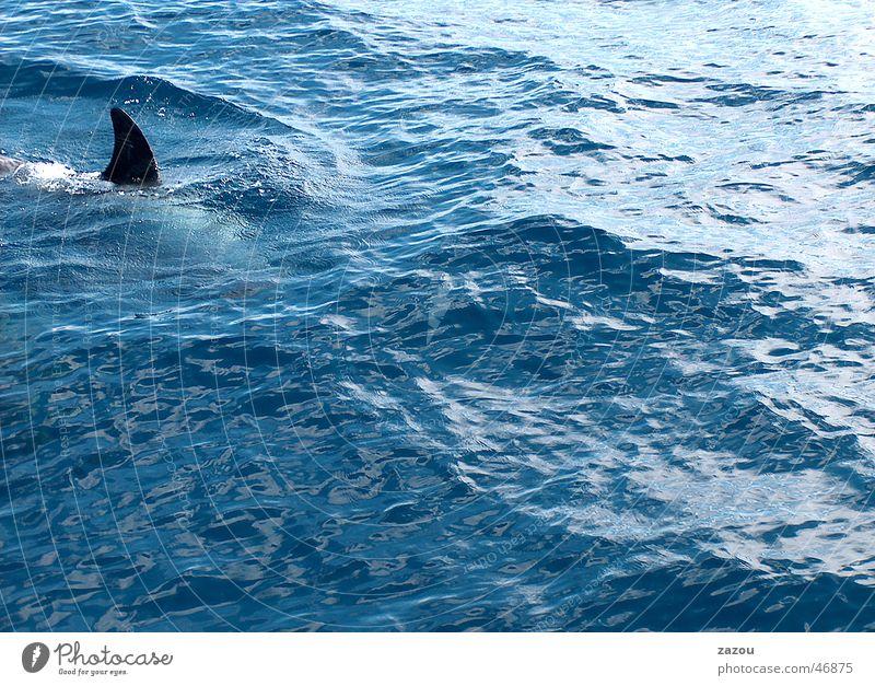 Gefahr Wasser blau Fisch gefährlich bedrohlich Haifisch Schrecken Delphine Abteilung Wal Vertriebsabteilung Finnen