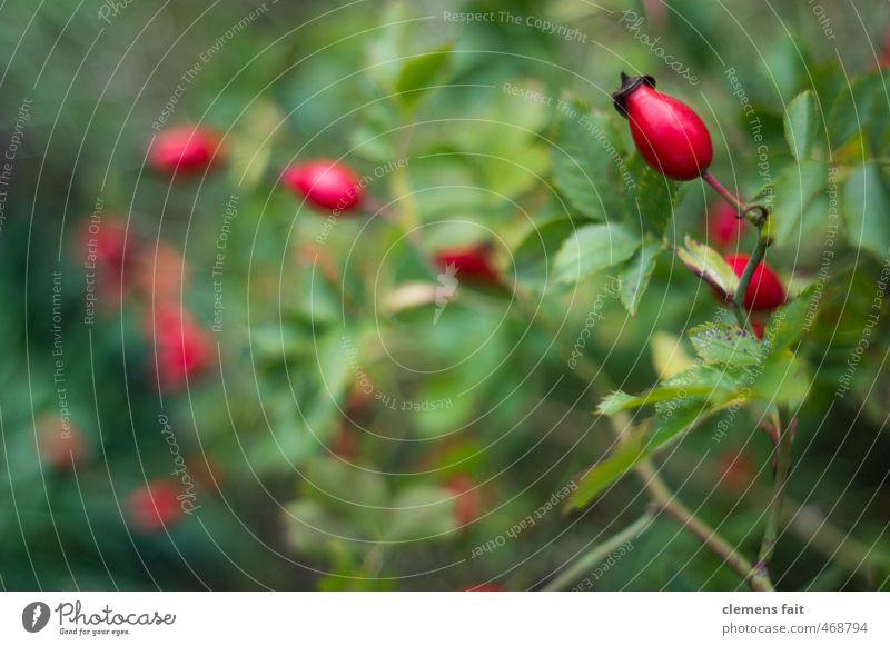 Hagebutten Natur grün Pflanze rot Wald Garten Vitamin C