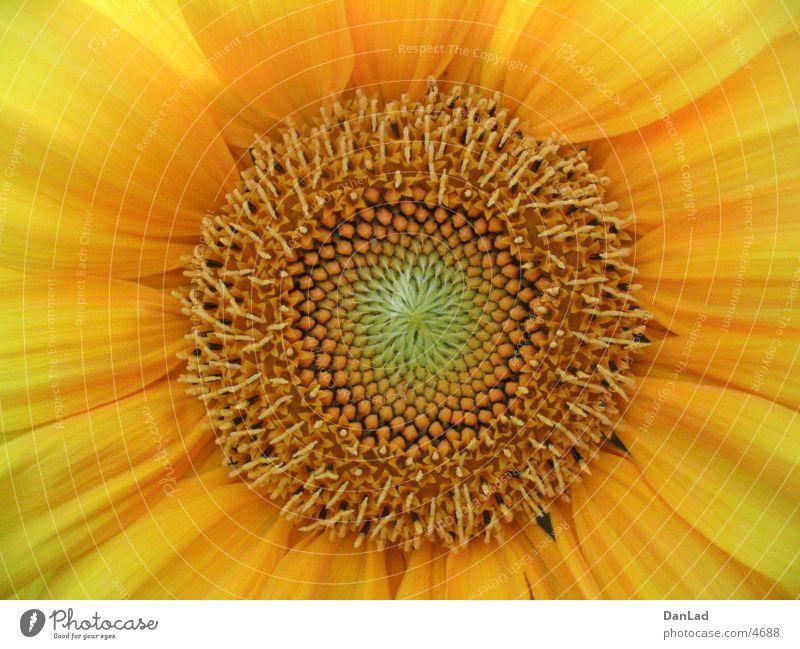 Sonneblume Detail Blume Sonnenblume Sommer Makroaufnahme Detailaufnahme
