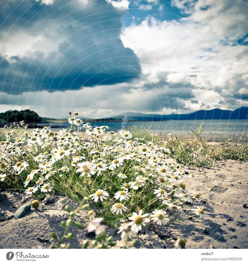 Kamille am Strand Wolken Gewitterwolken Blüte Küste Vorfreude Hoffnung Gelassenheit Echte Kamille Schottland Farbfoto Außenaufnahme Menschenleer