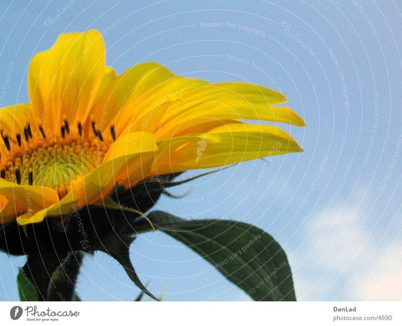 Sonnenblume Sommer gelb Himmel blau