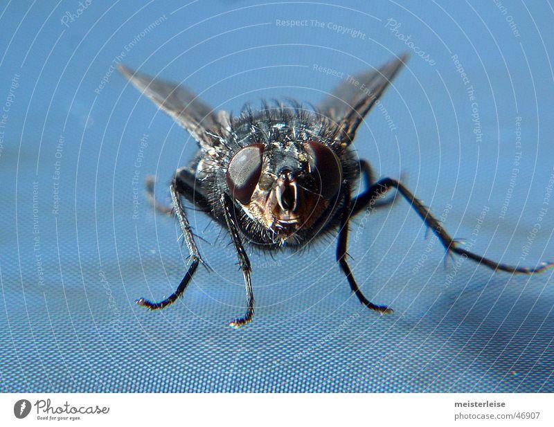 Fliege 01 Tier Insekt Makroaufnahme Innenaufnahme Nahaufnahme macroaufnahme meisterleise