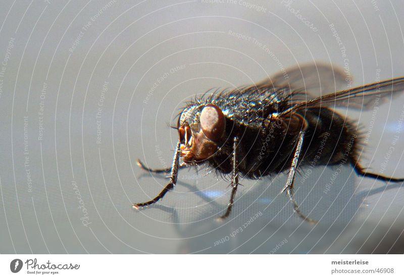 Fliege 02 Tier Insekt Makroaufnahme Innenaufnahme Nahaufnahme macroaufnahme meisterleise
