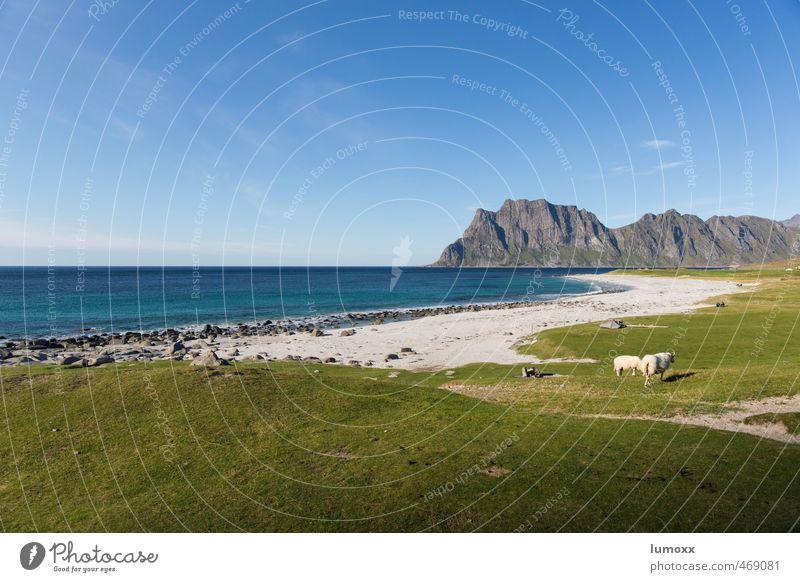uttakleiv Natur Landschaft Sand Wasser Himmel Horizont Sommer Schönes Wetter Gras Felsen Küste Strand Meer Polarmeer Lofoten Norwegen Wildtier Schaf 2 Tier