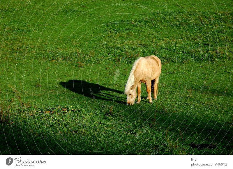 Tryggur der Treue Pferd Island Ponys Einsamkeit Fressen Wiese Weide grün Licht Herbst Schatten sonne angestrahlt