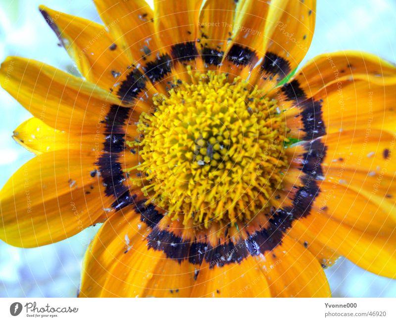 Blume gelb schwarz Sonnenblume Nahaufnahme Außenaufnahme gelbe blume orange Garten Makroaufnahme