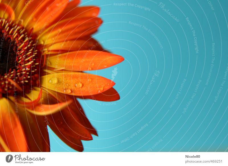 sonnige Gerbera Pflanze Blume Blüte blau orange Blütenblatt Regen Tau zart frisch ästhetisch Farbfoto Innenaufnahme Menschenleer Textfreiraum rechts