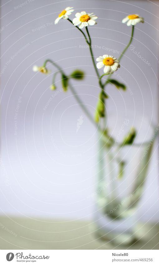 Ein Glas Kamillentee Natur Pflanze Sommer Blume Umwelt zart Kräuter & Gewürze nachhaltig Kamille