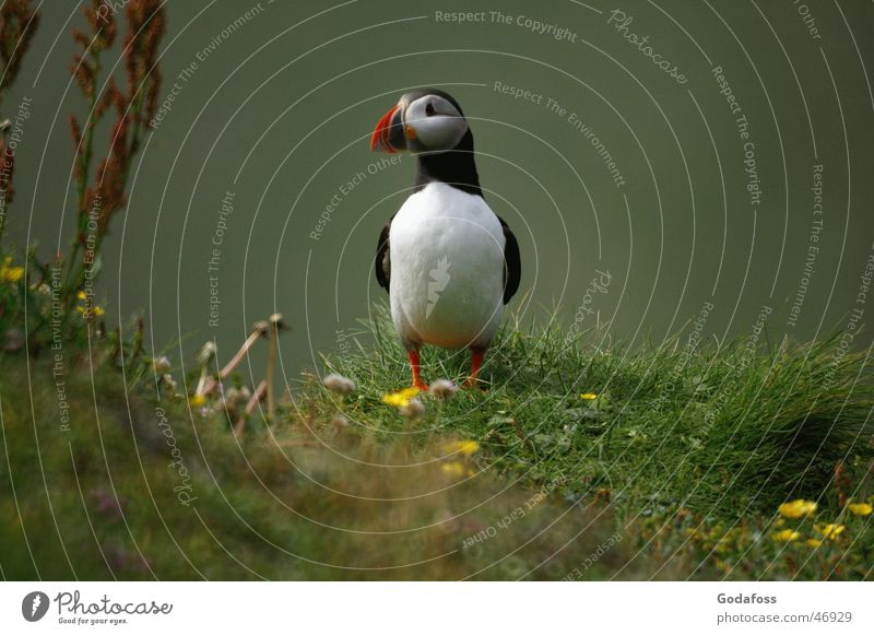Puffin Daddy Papageitaucher Vogel Tiergesicht Tierporträt Ganzkörperaufnahme Blick in die Kamera niedlich Hintergrund neutral Textfreiraum rechts stehen Totale