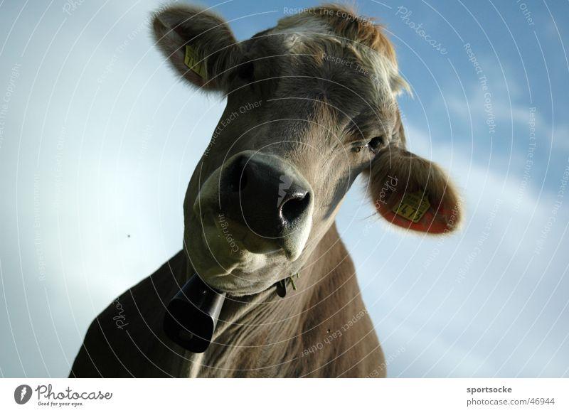 Crazy Cow Himmel Landwirtschaft Kuh Rind