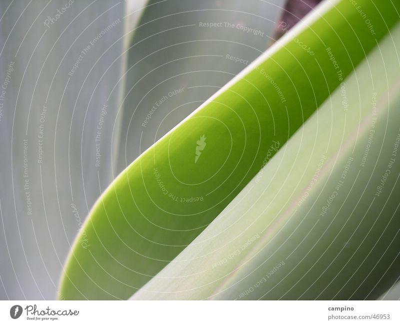 Shades of green Agave Hintergrundbild grün Pflanze Natur Detailaufnahme