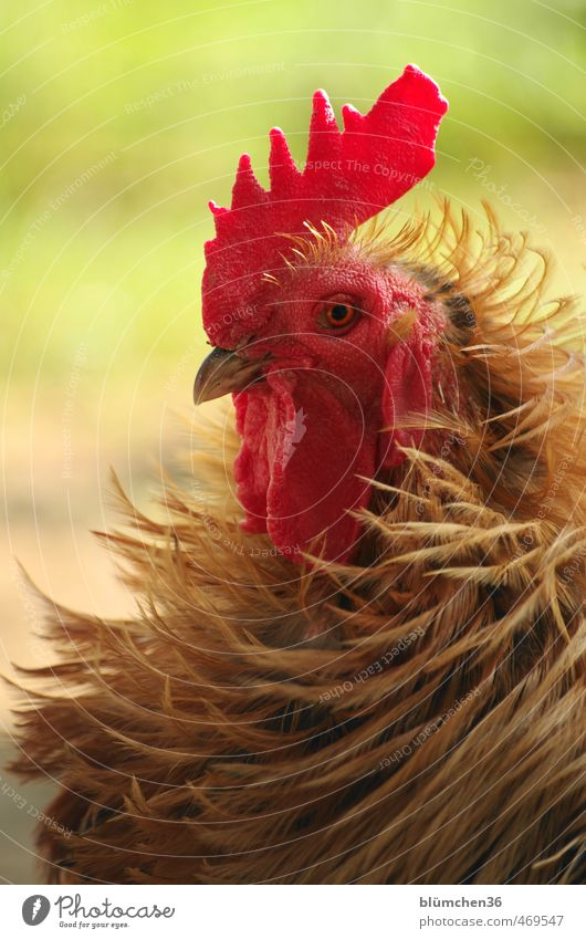 Gestylt bis in die Federspitzen schön Tier Auge lustig Haare & Frisuren Kopf Vogel elegant stehen ästhetisch beobachten einzigartig Neugier Körperhaltung