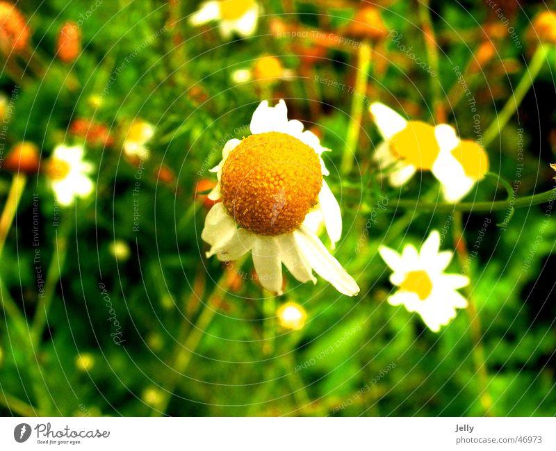 pflück mich Blume grün Wiese Unschärfe Blumenwiese margeriete