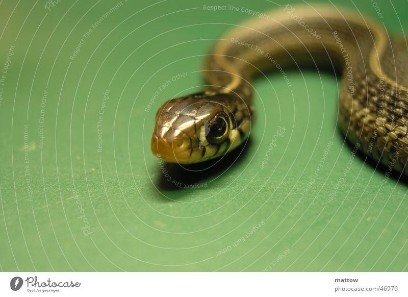 Babyschlange Tier Schlange Reptil