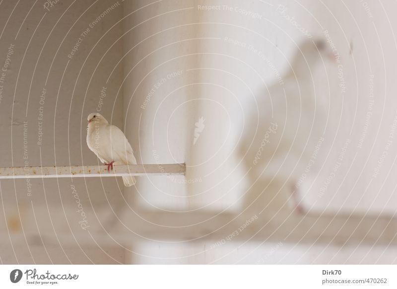 Taubenduo Mauer Wand Tier Wildtier Vogel Haustaube Albino 2 Stab Metall Rost Friedenstaube beobachten hocken Blick sitzen ästhetisch natürlich niedlich positiv