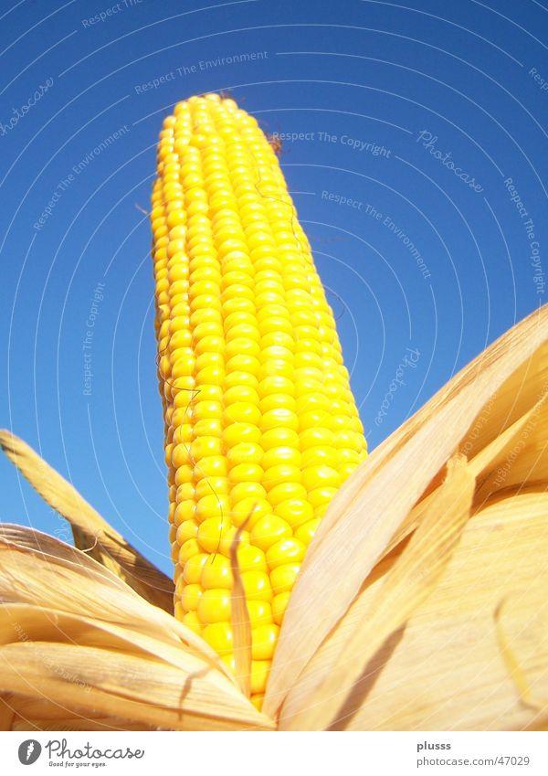 Prachtkolben Maiskolben gelb Korn Blatt Maiskorn ausgepackt Maisfeld gebraten Himmel blau Getreide Ernährung