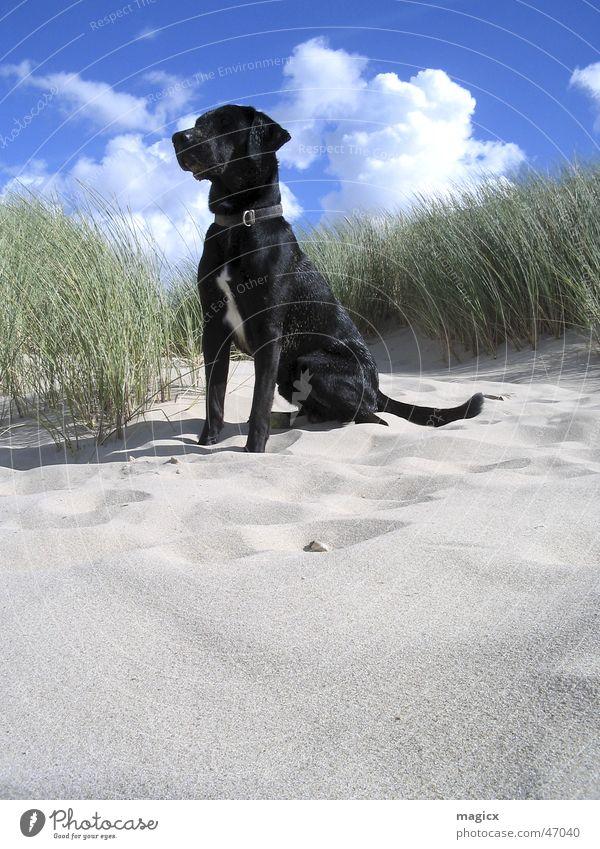 KingOfTheBeach Hund Strand Wolken Meer Labrador Niederlande Tier Sand Stranddüne Himmel schwarzer hund blau König Nordsee Schatten