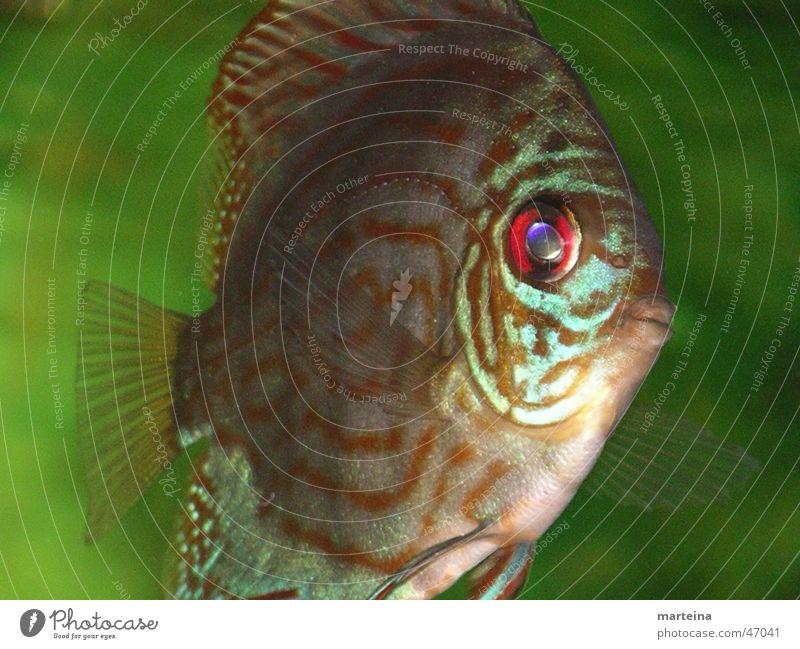 Diskus Fisch Aquarium Barsch Diskusfisch Aquaristik