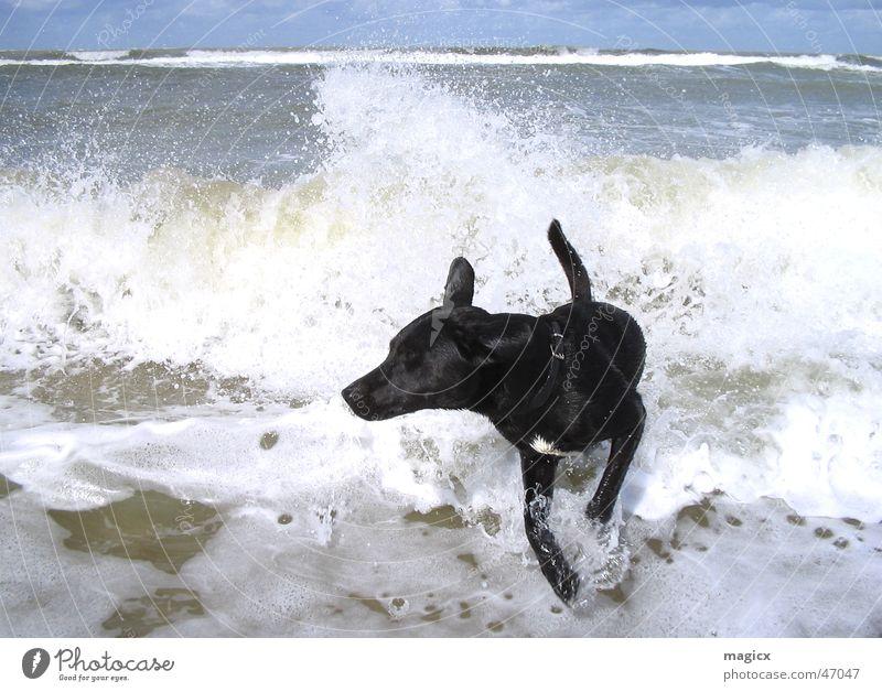 WaveDog Hund Himmel Wasser Meer Strand schwarz springen Wellen laufen nass feucht Surfer Niederlande Gischt Labrador Wasserspritzer