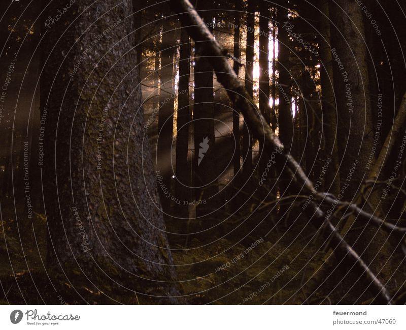 Trollwald Wald Baum dunkel Sonnenstrahlen Baumstamm Licht Zweig Ast