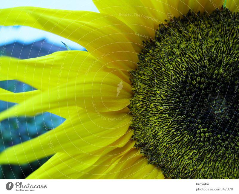 Sunflower gelb Makroaufnahme Sonnenblume Blume Amerika sunflower kimako Mexiko