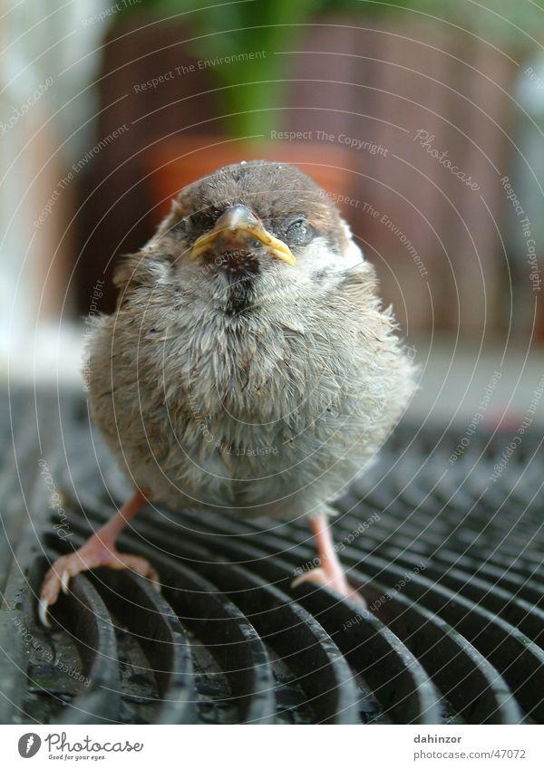 Spatzenjunges klein Vogel