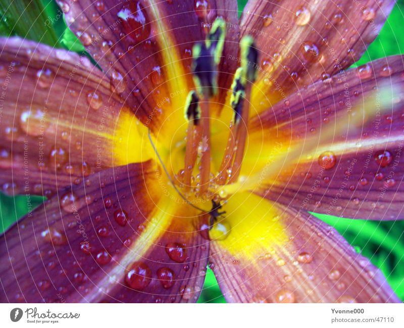 Lilie gelb Garten Regen Wassertropfen violett Lilien