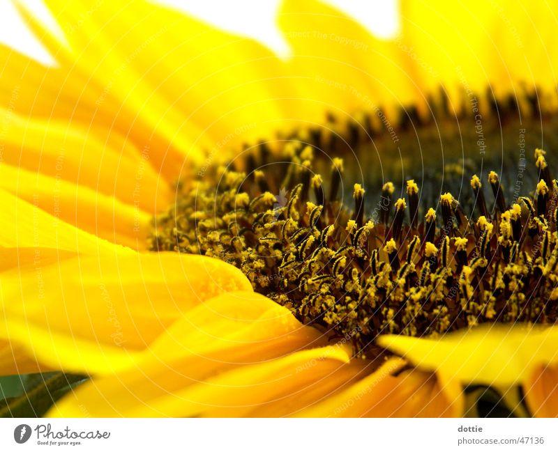 Sonnenblümeli Nr.1 Sonnenblume gelb nah Sommer Makroaufnahme Pollen